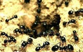 Ants - Pests R Us
